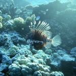 Ядовитая рыба-пчела. Коралловый риф Хургады.